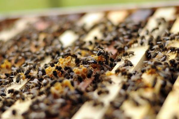 夏季如何给蜂群降温?