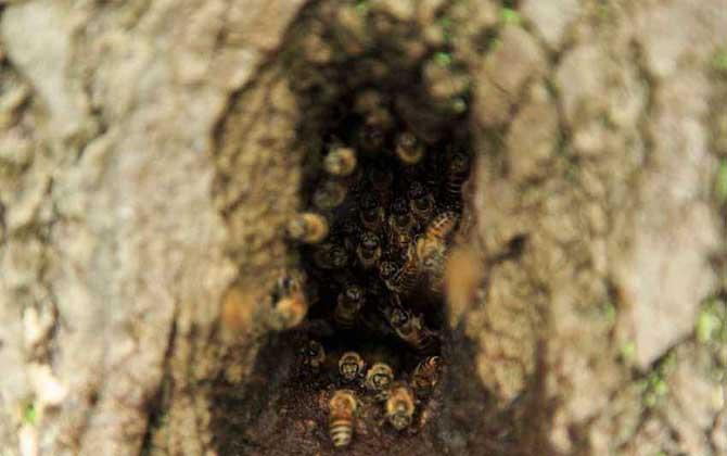 怎样把山洞里的蜜蜂王引出来?