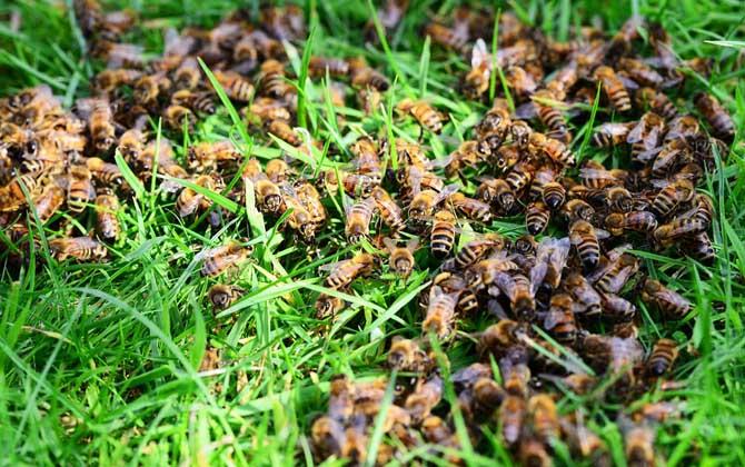 盗蜂的探究