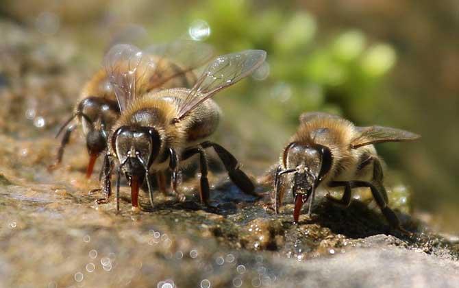 关于蜜蜂的11条生物学数据